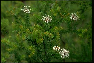 APII jpeg image of Grevillea buxifolia  © contact APII