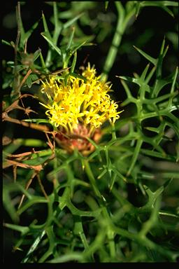 APII jpeg image of Isopogon ceratophyllus  © contact APII