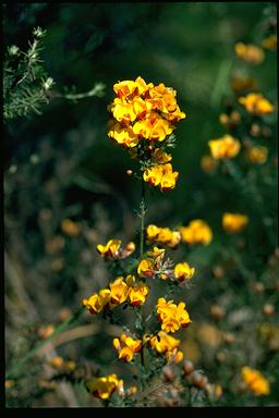 APII jpeg image of Pultenaea stricta  © contact APII