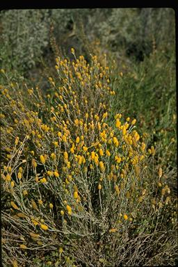 APII jpeg image of Calocephalus multiflorus  © contact APII