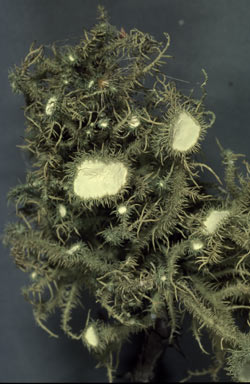 APII jpeg image of Usnea  scabrida  © contact APII