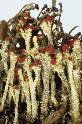 APII jpeg image of Cladonia ustula  © contact APII