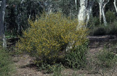 APII jpeg image of Acacia dawsonii  © contact APII