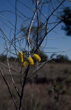 APII jpeg image of Acacia filamentosa  © contact APII