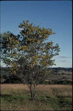 APII jpeg image of Acacia jucunda  © contact APII