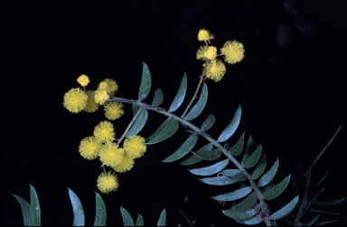 APII jpeg image of Acacia leichhardtii  © contact APII