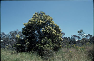 APII jpeg image of Acacia mearnsii  © contact APII