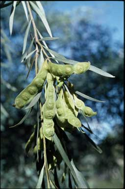 APII jpeg image of Acacia pendula  © contact APII