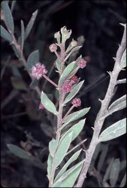 APII jpeg image of Acacia purpureopetala  © contact APII