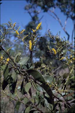 APII jpeg image of Acacia retinervis  © contact APII