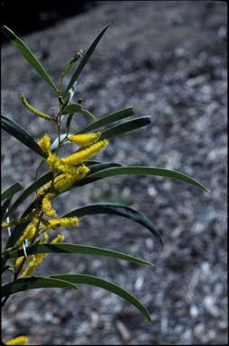APII jpeg image of Acacia undoolyana  © contact APII