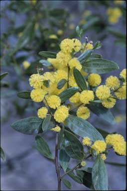 APII jpeg image of Acacia verniciflua  © contact APII