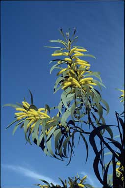 APII jpeg image of Acacia crassa subsp. crassa  © contact APII