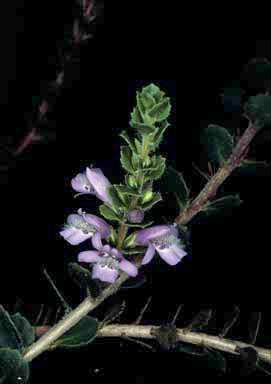 APII jpeg image of Eremophila behriana  © contact APII