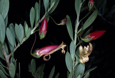 APII jpeg image of Eremophila maculata  © contact APII