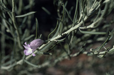 APII jpeg image of Eremophila pantonii  © contact APII