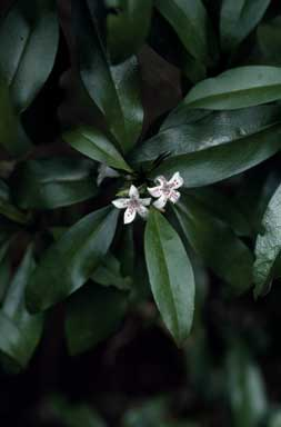 APII jpeg image of Myoporum obscurum  © contact APII