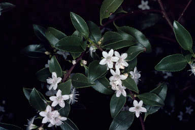 APII jpeg image of Myoporum viscosum  © contact APII