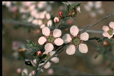 APII jpeg image of Leptospermum multicaule  © contact APII