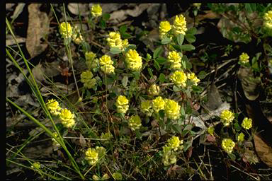 APII jpeg image of Trifolium campestre  © contact APII