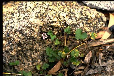 APII jpeg image of Pelargonium sp.  © contact APII