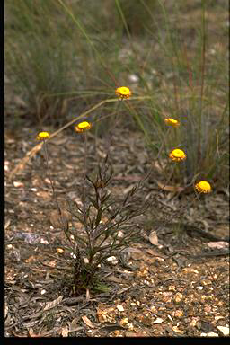 APII jpeg image of Helichrysum collina  © contact APII