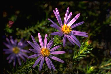APII jpeg image of Olearia tenuifolia  © contact APII