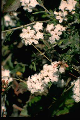 APII jpeg image of Leucopogon microphyllus var. pilibundus  © contact APII
