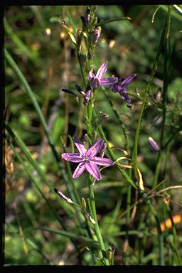 APII jpeg image of Caesia calliantha  © contact APII