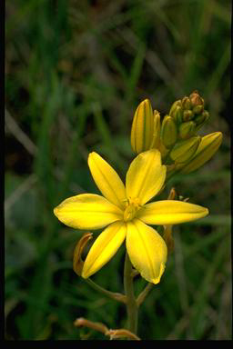 APII jpeg image of Bulbine bulbosa  © contact APII