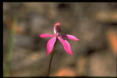 APII jpeg image of Caladenia congesta  © contact APII