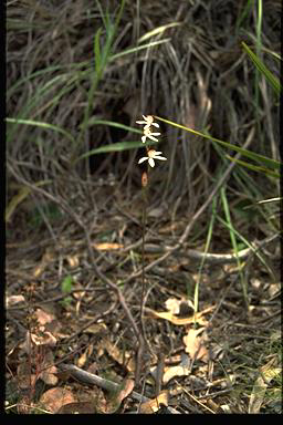 APII jpeg image of Caladenia gracilis  © contact APII