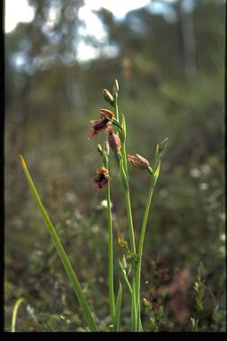APII jpeg image of Calochilus robertsonii  © contact APII