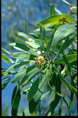 APII jpeg image of Persoonia falcata  © contact APII