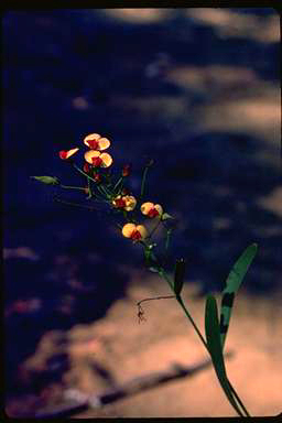 APII jpeg image of Daviesia costata  © contact APII