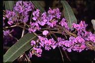 Goodia lotifolia - click for larger image