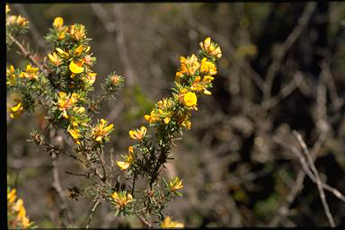 APII jpeg image of Pultenaea daltonii  © contact APII