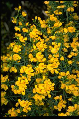APII jpeg image of Pultenaea euchila  © contact APII