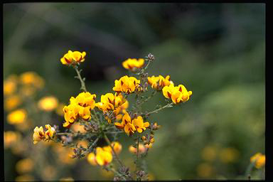 APII jpeg image of Pultenaea gunnii  © contact APII