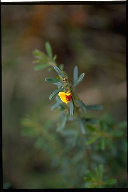 APII jpeg image of Pultenaea hartmanii  © contact APII