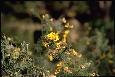 APII jpeg image of Pultenaea mollis  © contact APII