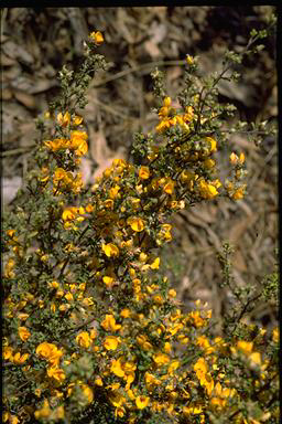 APII jpeg image of Pultenaea prostrata  © contact APII