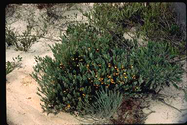 APII jpeg image of Daviesia nudiflora subsp. nudiflora  © contact APII