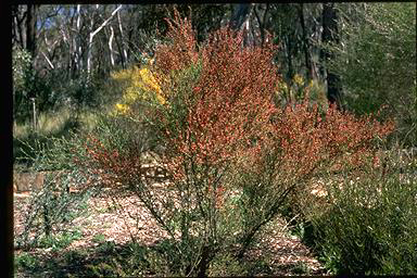 APII jpeg image of Daviesia physodes  © contact APII