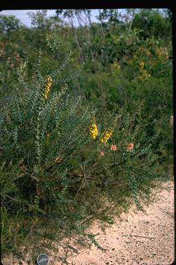 APII jpeg image of Daviesia striata  © contact APII