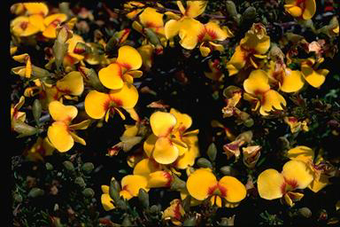 APII jpeg image of Dillwynia prostrata  © contact APII