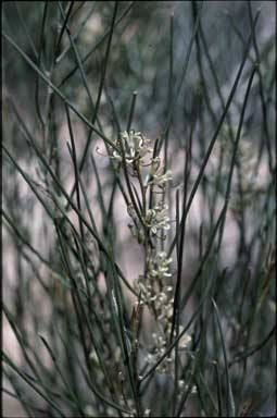 APII jpeg image of Hakea adnata  © contact APII