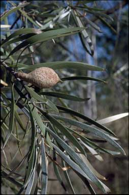 APII jpeg image of Hakea arborescens  © contact APII