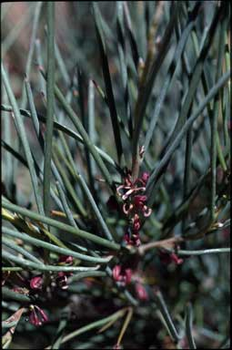APII jpeg image of Hakea strumosa  © contact APII