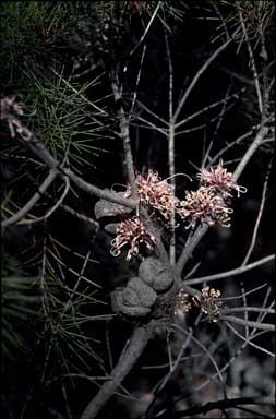 APII jpeg image of Hakea bakeriana  © contact APII